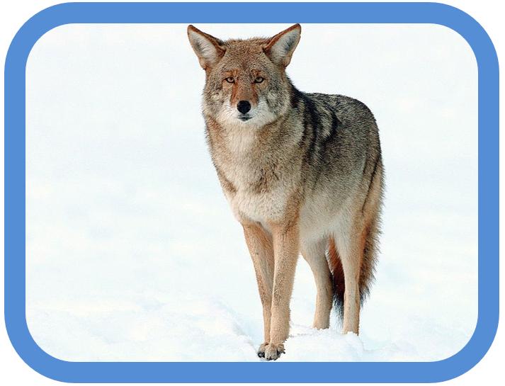 Agile Coyote