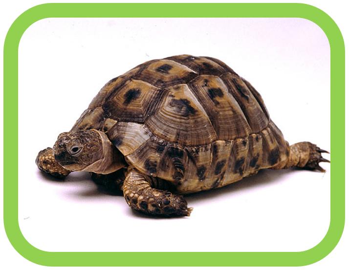 Agile Tortoise
